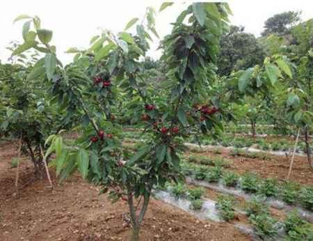 樱桃树生产厂家